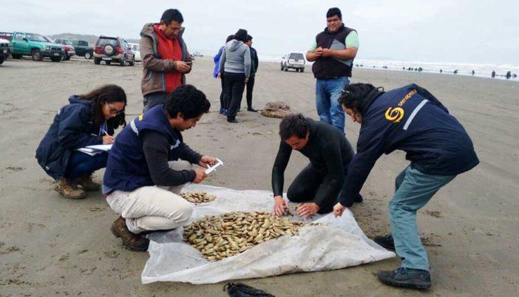 Decretan veda de la macha por cinco años para las regiones del Maule, Valparaíso y O'Higgins