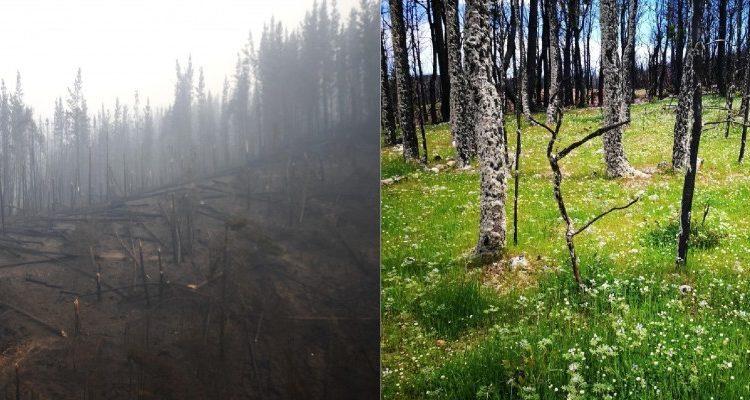 El antes y después de predios consumidos por incendios forestales en Santa Olga tras experimento